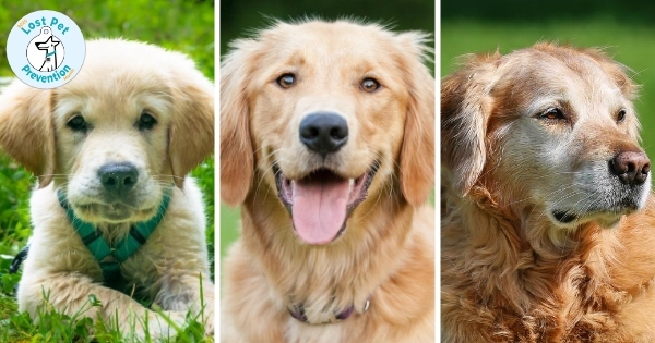 Series of three photos showing a Golden Retriever as a puppy, adult, and senior dog