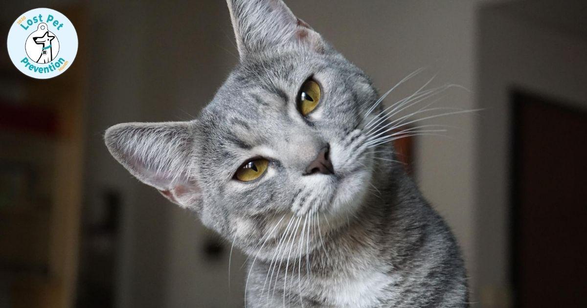gray kitten tilting head to camera