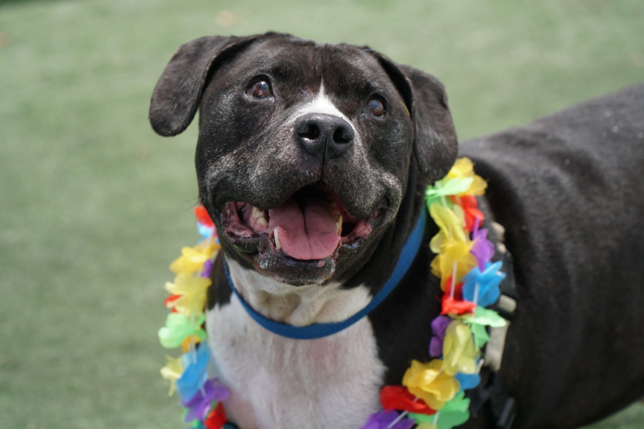 Black and white pitbull mix smiles up at camera with colorful lei on, looking very tropical