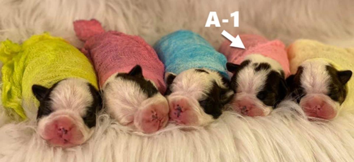 Litter of Boston Terrier puppies