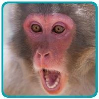 Monkey with mouth open