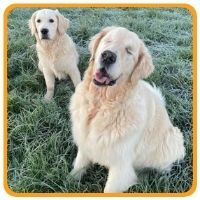 Older blind golden retriever with puppy golden retriever