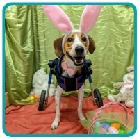 Hound dog in bunny ear and back leg support