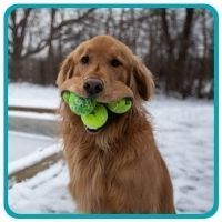 Golden Retriever with six balls in mouth