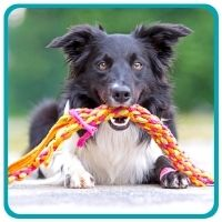 Border Collie with rope toy in mouth