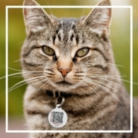 Tabby cat outside with PetHub ID tag