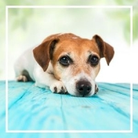 jack russel terrier dog laying with head on paw looking at camera