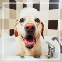 Yellow lab in bath tub with bubbles on his head