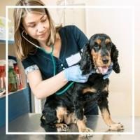woman vet listening to spaniel dog's heartbeat