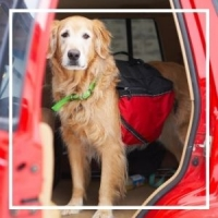 Golden Retriever in car - ultimate disaster preparedness guide for pet parents