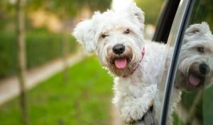 dog sticking head out car window with a grass strip and sidewalk behind him