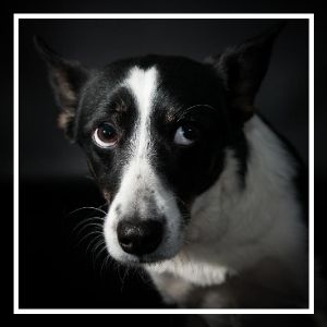 black and white dog looking up nervously