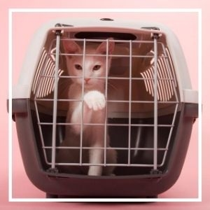 White cat in traveling carrier