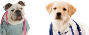 nurse bull dog and doctor lab puppy