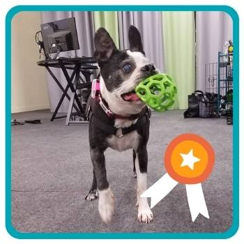 Older Boston Terrier playing with JW Holee Roller lime green ball