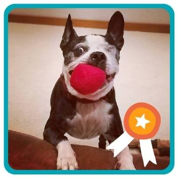 Older Boston Terrier playing with Midlee Plush Ball