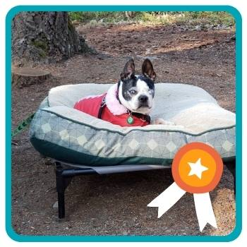 Older Boston Terrier sitting on KH outdoor bed in the outdoors