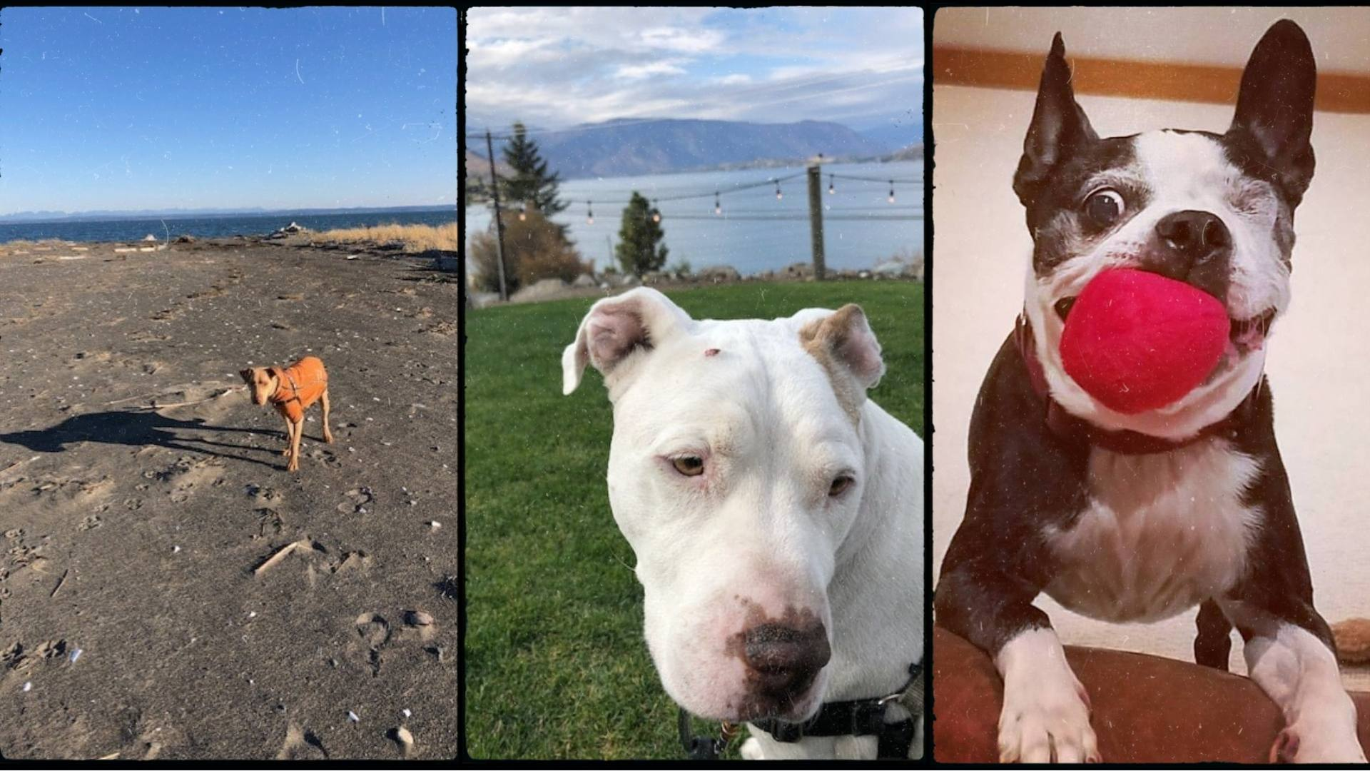 Three older dogs collaged together