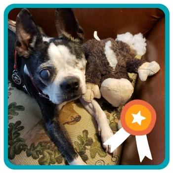 Older Boston Terrier chewing on soft stuffed animal.